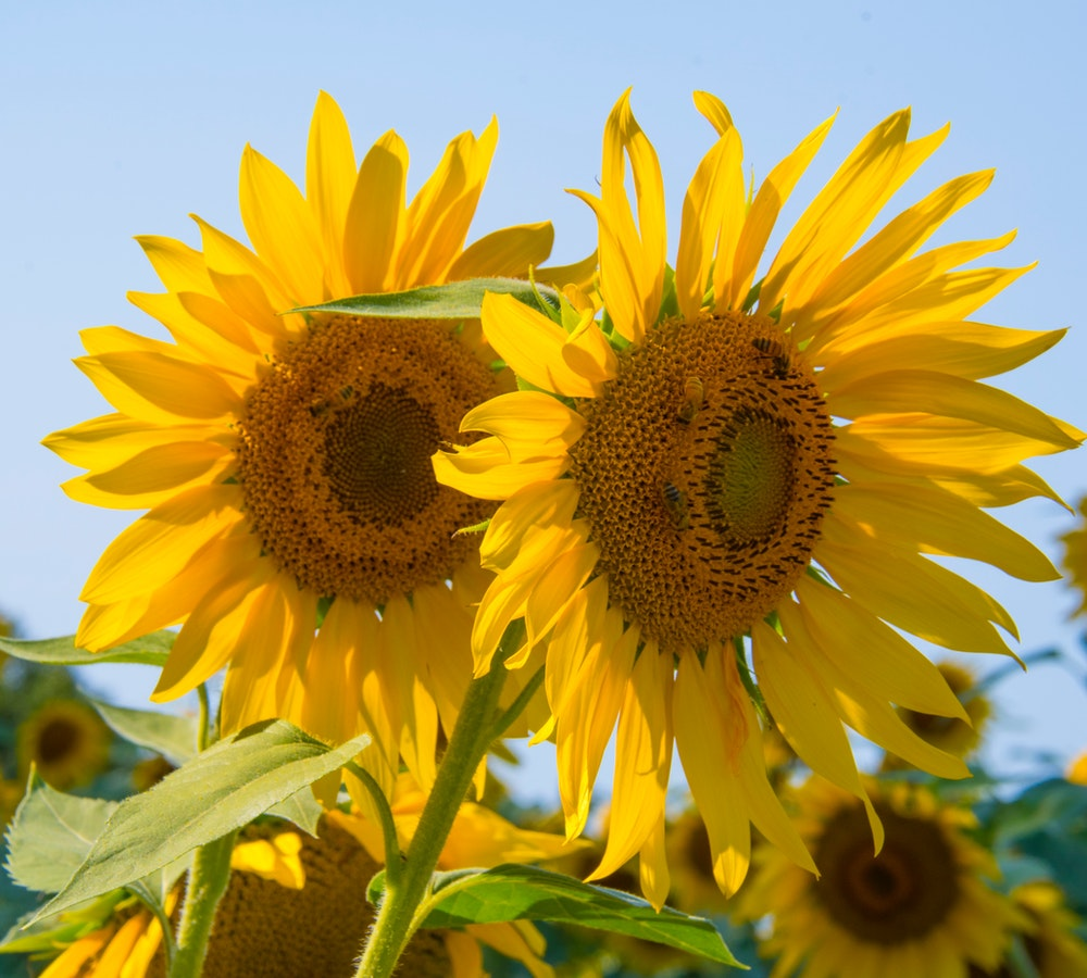 Sunflower Gifts